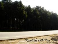 Roadside with pine tree